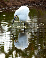 Snowy Egret fishing for food