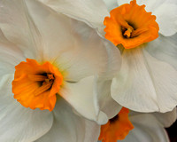 Narcissus - Delicious Fragrance!