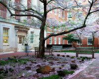 Cherry blossom flurries predicted 4/3/2014...a dusting of pink petals covers the ground.