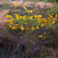 Goldenrod and Muhly grass on Bluff Island Maritime Grassland, Oct 2014
